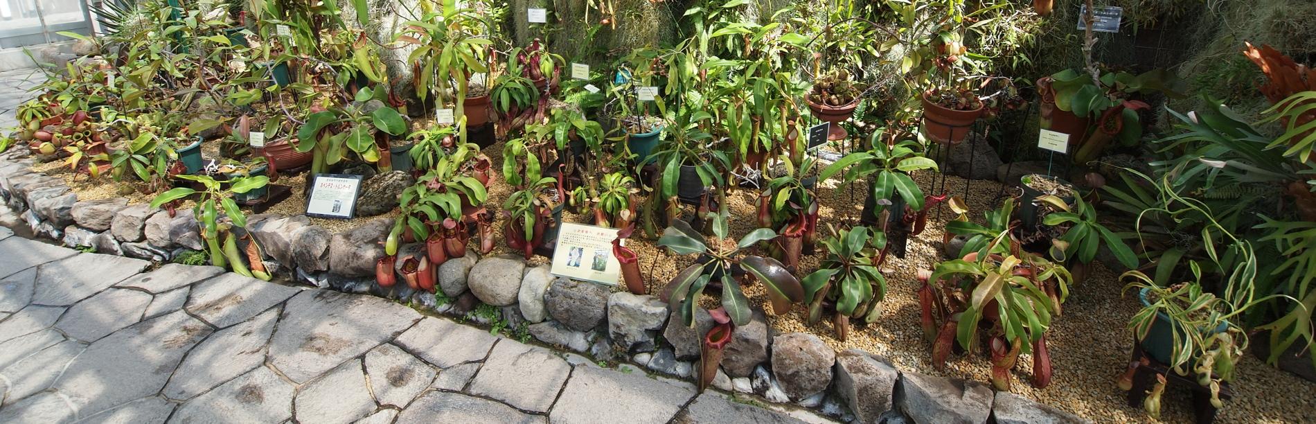 食虫植物特別展示